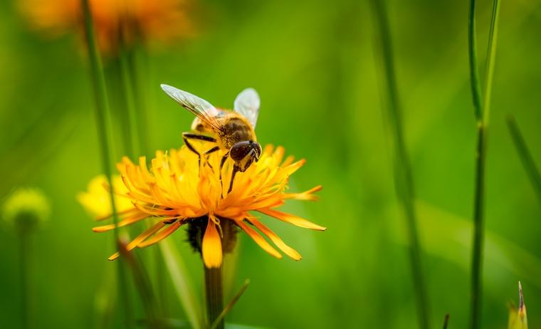 Пчела на желтом цветке и зеленом фоне