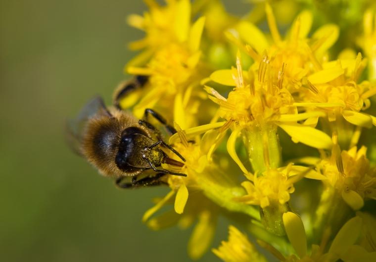 Красивое фото пчелы на желтом цветке