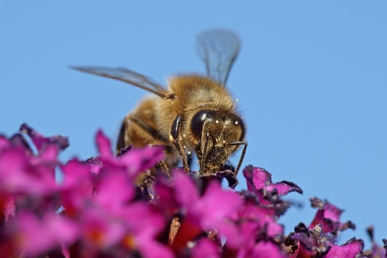 Красивое фото пчелы на цветке